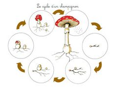 Crapouillotage: Le cycle d'un Champignon Plant Science, Science Nature, Cycle For Kids, Maternelle Grande Section, French Language Lessons, Homeschool Kindergarten, Life Cycles, Fungi, Kids Learning