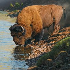 from the only pure DNA herd from ancient North American bison at . It was near until made the last genetically pure bison into selected, designated area now know as Yellowstone. Thanks be to him, albeit an avid hunter. Wildlife Paintings, Wildlife Art, Wild Life, Animal Bufalo, Beautiful Creatures, Animals Beautiful, Animals And Pets, Cute Animals, Buffalo Art