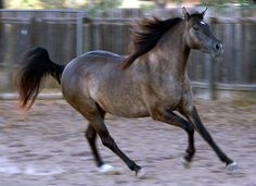 Morgan Colors- Your Information Station for Morgan Color Genetics and Color History Pretty Horses, Beautiful Horses, Animals Beautiful, Cute Animals, Horse Age, Morgan Horse, All About Horses, Painted Pony, Brown Horse