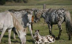 Altai-Horses-Russia
