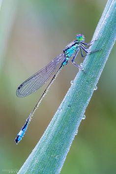 Photo Damigella by Alessandro De Luca* ~ 7.26 Agrion vertical.  (Ischnura verticalis). Ses zones préférées sont les petits étangs et les zones humides. Il est présent dans toutes les régions méridionales du Canada de juin à octobre.
