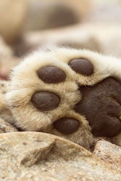 snow leopard's paw Big Cats, Cute Cats, Cute Wild Animals, Ghost Cat, Paws And Claws, Vintage Dog, Cat Paws, Leopards, Pretty Cats