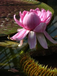 FLOWER OF VICTORIA AMAZONICA..........SOURCE ZOOM500FILES..........
