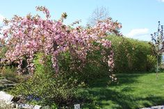 Prunus trilobaRosemandelRosaceae Rosefamilien  SNITT/LIGNOSE