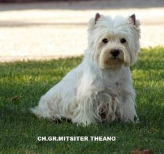 Mitsiter Theano! West Highland White, West Highland Terrier, White Terrier, White Dogs, Westies, Scottie, Terriers, Cousins, Animals And Pets
