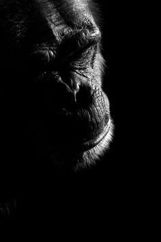 Boza Ivanovic | beautiful | gorilla | ape | black & white photography | nature | facing extinction | sadness | light and shade | black & white photography | noir | emotive