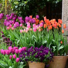 Anna: do you like this combination of the rich orange and pinks and purples ? They work beautifully in April and may, when theres not much else going on in the way of colour . The other advantage is that orange tulips are scented Spring Plants, Spring Bulbs, Container Flowers, Colorful Garden, Spring Time, Container Gardening, Planter Pots, Projects To Try, Backyard