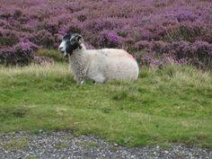 A Swaledale ewe on moor in Nidderdale.