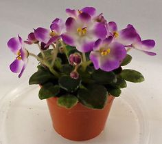 African Violet Plumberry Glow Semi Miniature Plant in Pot | eBay