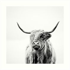 Portrait of a Highland Cow in black and white.  Image taken at Applecross Peninsula, Scottish Highlands. / Landscape crop available here: www.redbubble.com/people/dorit/works/21547662-portrait-of-a-highland-cow-landscape-format • Also buy this artwork on wall prints, apparel, phone cases, and more.
