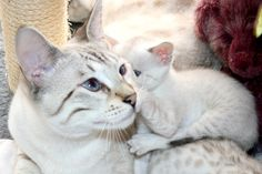 White Bengal Cat and kitten photos Bengal Kittens For Sale, Cats And Kittens, Kitty Cats, White Bengal Cat, Bengal Cats, Toyger Cat, Asian Leopard Cat, Spotted Cat, Image Chat