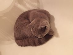 Curly cat.