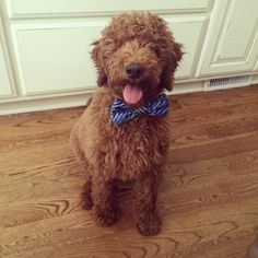 Goldendoodle in a bowtie, too much cuteness for one picture!   Red Goldendoodle, F1B. Love my pup. Goldendoodle, bowtie, cuteness