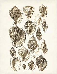 Seashells Poster Seahells Art Print Beach Art Conch Shells