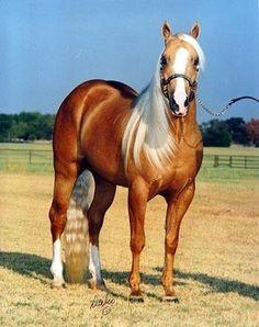 Palomino Quarter Horse.