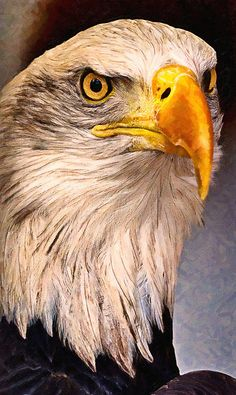 """American Bald eagle"" by Adam Asar | Redbubble"