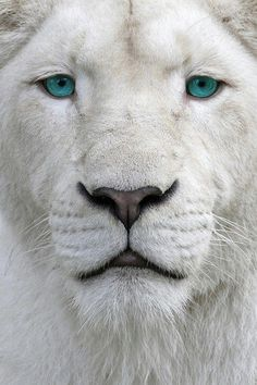 The White Lion. This Lion is actually white due to a recessive gene, he is not an albino lion. Beautiful Cats, Animals Beautiful, Gorgeous Eyes, Amazing Eyes, Beautiful Friend, Pretty Eyes, Hello Gorgeous, Amazing Things, Animals And Pets