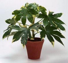Aralia (Aralia laponica)  Arbusto a menudo con un solo tallo, que muestra amplias hojas, palmadas con siete o nueve lóbulos, de matiz verde intenso y membranas.  http://www.plantasinterior.com/aralia-aralia-laponica/