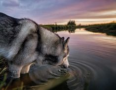 "#Husky  is a general name for a sled-type of #dog used in northern regions, differentiated from other sled-dog types by their fast pulling style. They are an ever-changing cross-breed of the fastest #dogs.The Alaskan Malamute, by contrast, is ""the largest and most powerful"" sled #dog, and was used for heavier loads. #Huskies are used in sled #dog racing. In recent years, companies have been marketing tourist treks with #dog sledges for adventure travelers in snow regions as well.#Huskies are…"