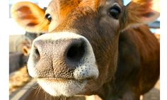 A moment for the cows | A Search for Compassion
