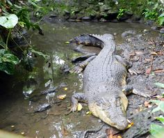 Estorian crocodile (Buwaya, Buaya), Philippine Eagle Center, Davao, July 13th.