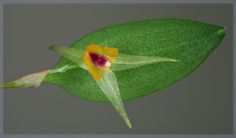 Miniature-Orchid: Lepanthes acuminata [17-months from seed-to-flower] - Flickr - Photo Sharing!