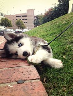 cute siberian husky dog