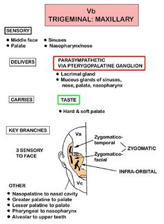 Instant Anatomy - Head and Neck - Nerves - Cranial - Vb (Trigeminal - maxillary division)