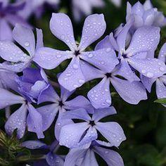 List of native plants that attract birds.  Photo - Woodland Phlox (Phlox divaricata)