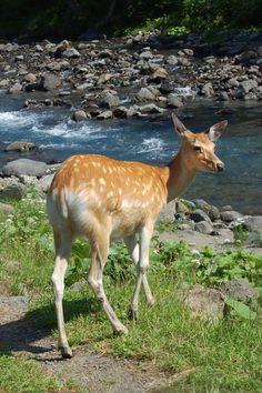 Sika deer in Shiretoko Peninsula, Hokkaido, Japan
