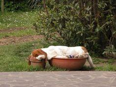 Bassets can really sleep everywhere...