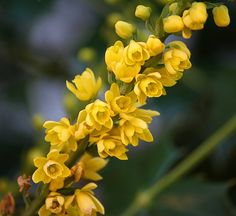 ~~mahonia flowers, oregon grape holly~~