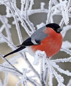 Funny and adorable bird perching on snowy branches