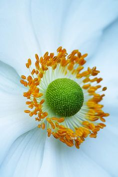 Anemone Detail | Flickr - Photo Sharing!