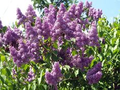 How and When to Prune Lilacs Japanese Lilac Tree, Bloomerang Lilac, Lilac Varieties, Dwarf Lilac, Roses And Violets, Syringa Vulgaris, Lilac Bushes, Home Grown Vegetables, Gardens