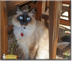 Read Cheshire the Siamese, Ragdoll mix's story from California and see his photo at Cat of the Day http://CatoftheDay.com/archive/2012/November/27.html .