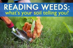 Reading weeds: What your soil is telling you. soil, garden, earth, amendments, dry soil, acidic soil, pH, soil amendments, weeds, weed, dandelion, clover, mullein, crabgrass, yarrow, plantain, plantago, sorrel, wood sorrel