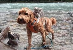 Kitten Makes Dog Best Friend Carry Him Around Everywhere They Go