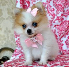 Blue Eyed Pomeranian---uhm. This site has the cutest poms for sale!