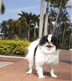 japanese chin dog breed information pictures characteristics facts