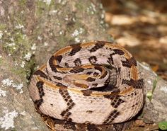 West Virginia's State Reptile, the timber rattlesnake. | Meet Your State's Most Influential Animal Representative