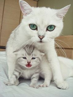 """* * MOM CAT: """" She be upsets dat her eyes notz be beguilin' likes mine. I toles her to gives herselfs time."""""""