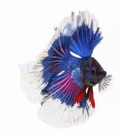betta: Betta fish, siamese fighting fish, betta splendens isolated on white background