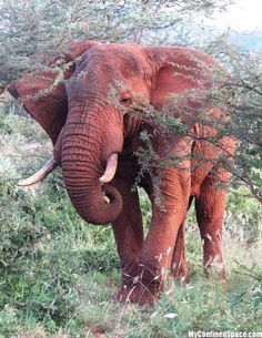 The big five top ten most dangerous animals in the world Where in the world would you see or find a red elephant? Do red elephants re. All About Elephants, Elephants Never Forget, Save The Elephants, Baby Elephants, Elephant Pictures, Elephants Photos, Asian Elephant, Elephant Love, Bull Elephant