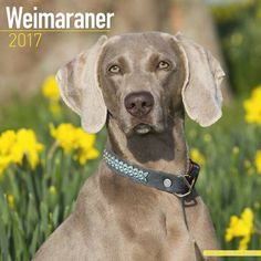 Avonside Hunde-Kalender 2017 Avonside Hunde Wandkalender 2017: Weimaraner