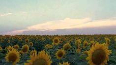 Binecuvântare Vineyard, Celestial, Sunset, Plants, Outdoor, Outdoors, Vine Yard, Vineyard Vines, Sunsets