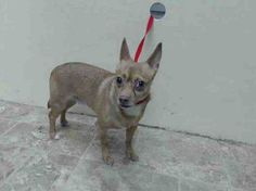 TO BE DESTROYED 5/9/14 Brooklyn Center   My name is MAX. My Animal ID # is A0998785. I am a male tan and white chihuahua sh. The shelter thinks I am about 6 YEARS old.  I came in the shelter as a OWNER SUR on 05/05/2014 from NY 11213, owner surrender reason stated was ALLERGIES. I came in with Group/Litter #K14-176244.
