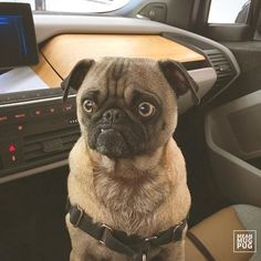 """""""You should probably let me drive"""" -Ozzy by meanmugpug. #pug"""