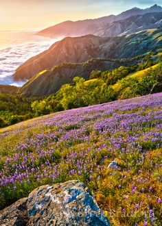 Big Sur Lupine over the Fog Sea / Big Sur Lupine over the Fog Sea Wild And Free, Big Sur, Mother Nature, Wild Flowers, Beautiful Places, Travel Photography, Bloom, Earth, Mountains