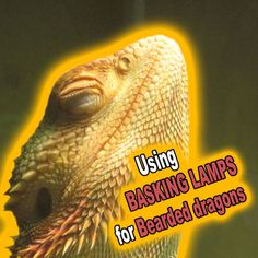 Basking lamps make great heat sources for Bearded dragons. Using them correctly will create basking areas and create basking behaviour in these pets. Bearded Dragon Heat Lamp, Bearded Dragon Funny, Guinea Pig Toys, Guinea Pig Care, Reptile Cage, Reptile Enclosure, Reptile Heat Lamp, Cat Shaming, Veterinary Technician